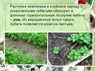 Растения земляники и клубники наряду с укороченными побегами образуют и длинн