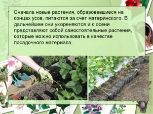 Сначала новые растения, образовавшиеся на концах усов, питаются за счет матер