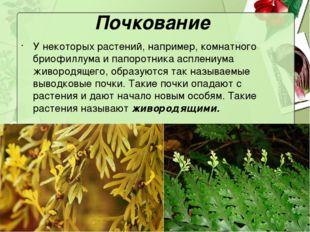Почкование У некоторых растений, например, комнатного бриофиллума и папоротни