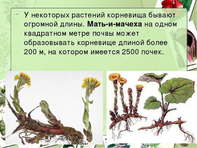У некоторых растений корневища бывают огромной длины. Мать-и-мачеха на одном...