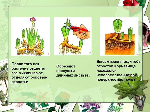 После того как растение отцветет, его выкапывают, отделяют боковые отростки....