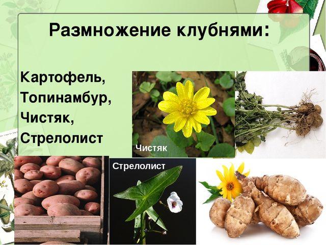 Размножение клубнями: Картофель, Топинамбур, Чистяк, Стрелолист Чистяк Стрело...