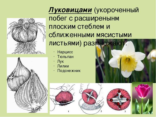 Нарцисс Тюльпан Лук Лилии Подснежник Луковицами (укороченный побег с расширен...