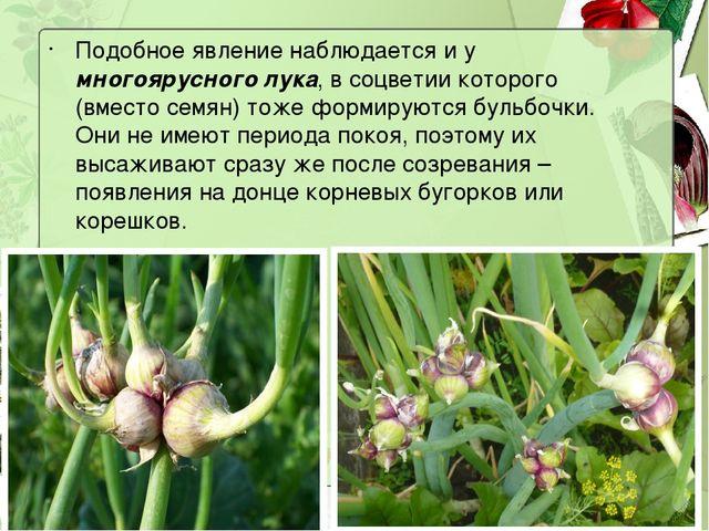 Подобное явление наблюдается и у многоярусного лука, в соцветии которого (вме...