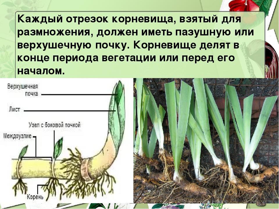 Каждый отрезок корневища, взятый для размножения, должен иметь пазушную или в...
