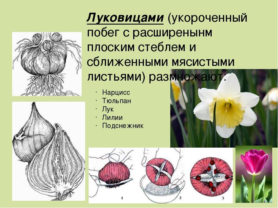 """Презентация по биологии на тему: """"Размножение растений укореняющимися и видоизмененными побегами"""" (6 класс)"""