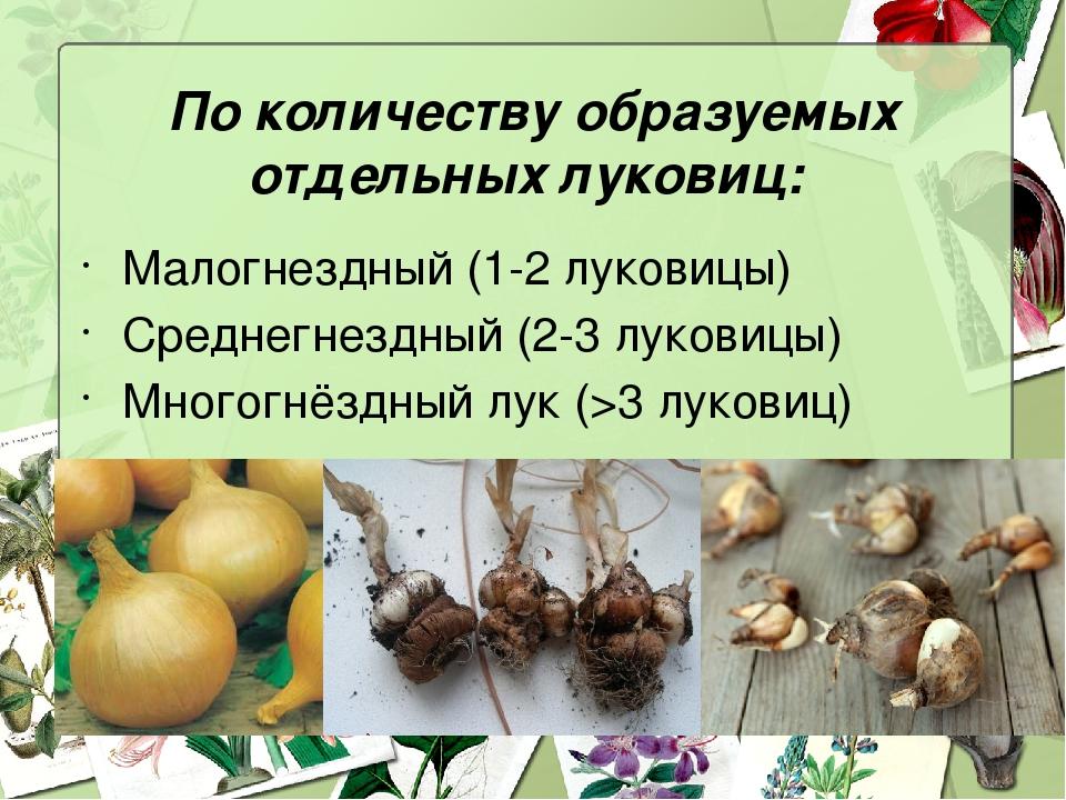 По количеству образуемых отдельных луковиц: Малогнездный (1-2 луковицы) Средн...