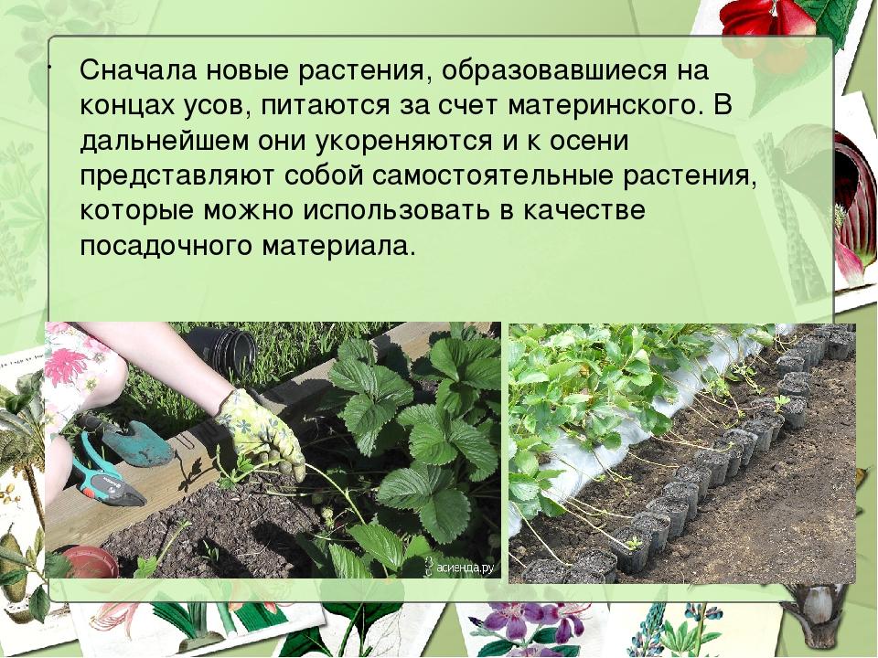 Сначала новые растения, образовавшиеся на концах усов, питаются за счет матер...
