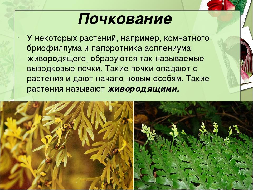 Почкование У некоторых растений, например, комнатного бриофиллума и папоротни...
