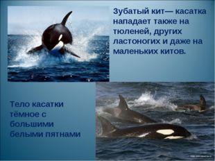 . Зубатый кит— касатка нападает также на тюленей, других ластоногих и даже на