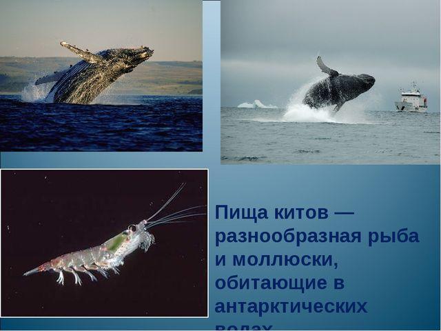Пища китов — разнообразная рыба и моллюски, обитающие в антарктических водах