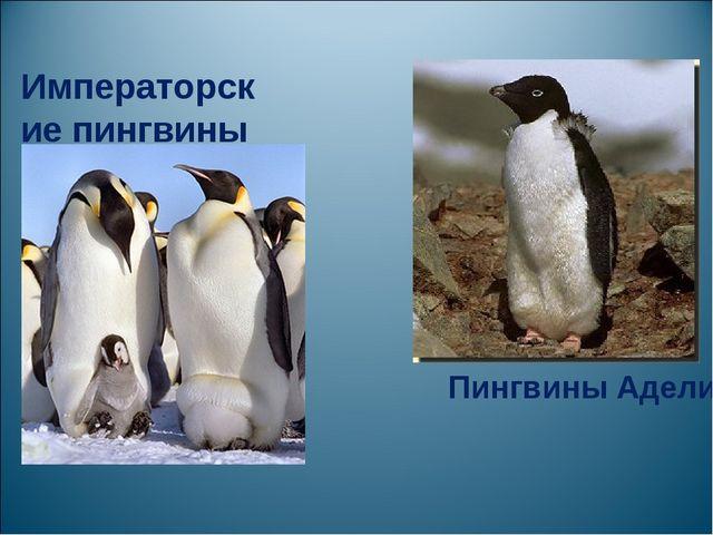 Императорские пингвины Пингвины Адели