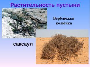 Растительность пустыни Верблюжья колючка