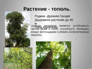 Растение - тополь. Родина -Древняя Греция Двудомное растение до 40 м Плод кор