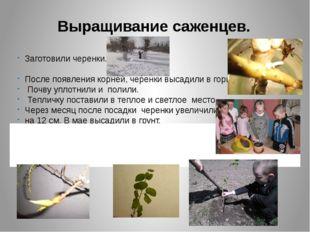Выращивание саженцев. Заготовили черенки. После появления корней, черенки выс