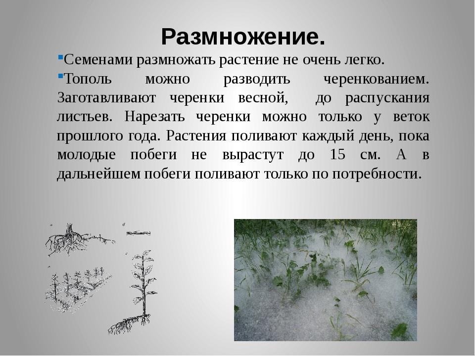 Размножение. Семенами размножать растение не очень легко. Тополь можно развод...