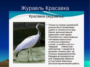 Журавль Красавка