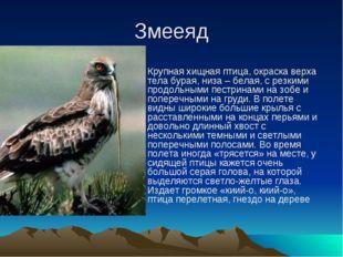 Змееяд Крупная хищная птица, окраска верха тела бурая, низа – белая, с резким
