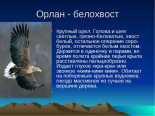 Орлан - белохвост Крупный орел. Голова и шея светлые, грязно-беловатые, хвост