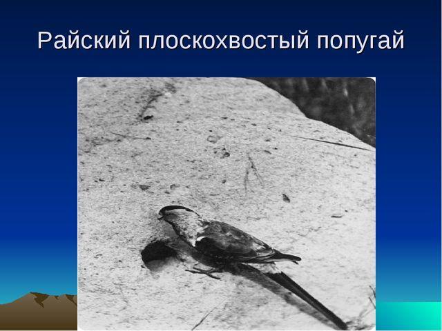Райский плоскохвостый попугай