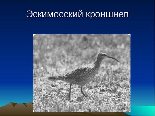 Эскимосский кроншнеп