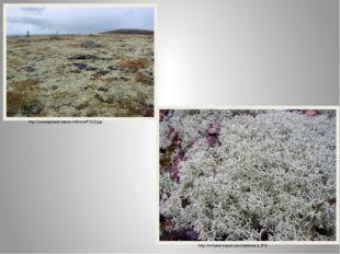 http://www.lapland-nature.info/ru/s/P013.jpg http://mrhyker.tripod.com/cladon