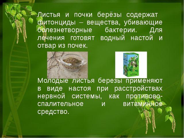 Листья и почки берёзы содержат фитонциды – вещества, убивающие болезнетворные...