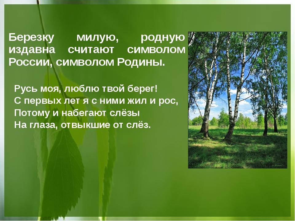 Березку милую, родную издавна считают символом России, символом Родины. Русь...