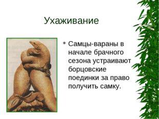 Ухаживание Самцы-вараны в начале брачного сезона устраивают борцовские поедин