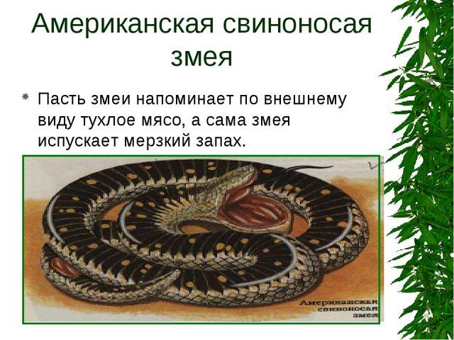 Американская свиноносая змея Пасть змеи напоминает по внешнему виду тухлое мя...
