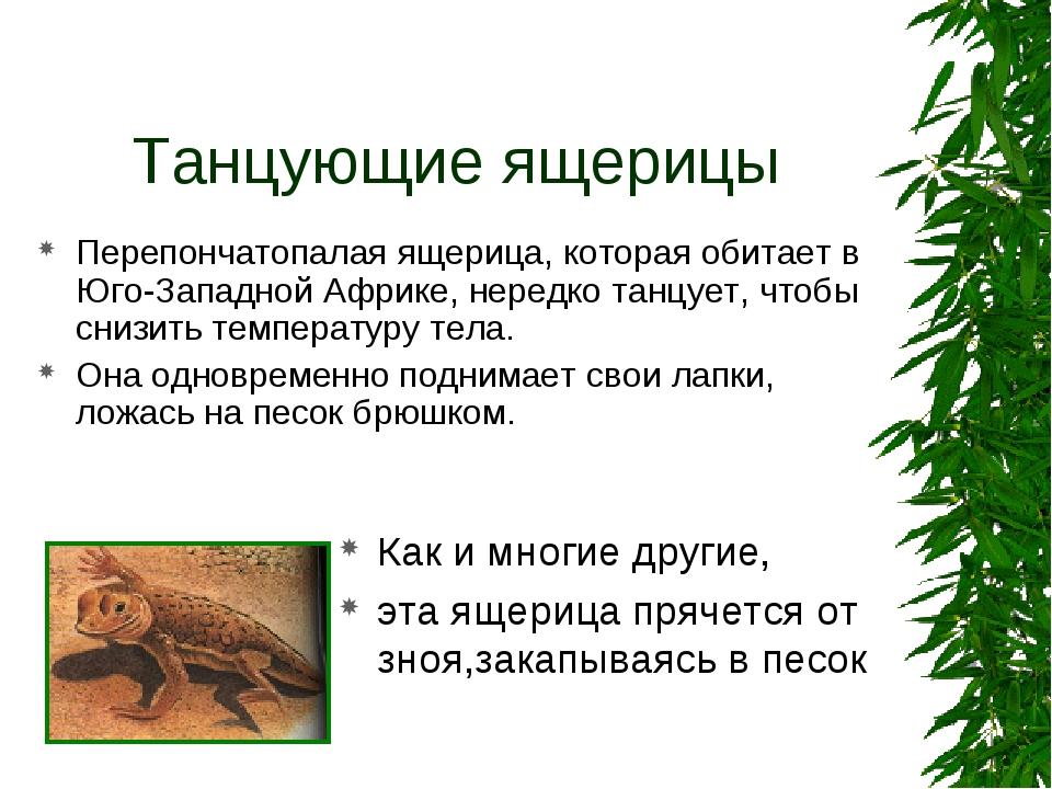 Танцующие ящерицы Перепончатопалая ящерица, которая обитает в Юго-Западной Аф...
