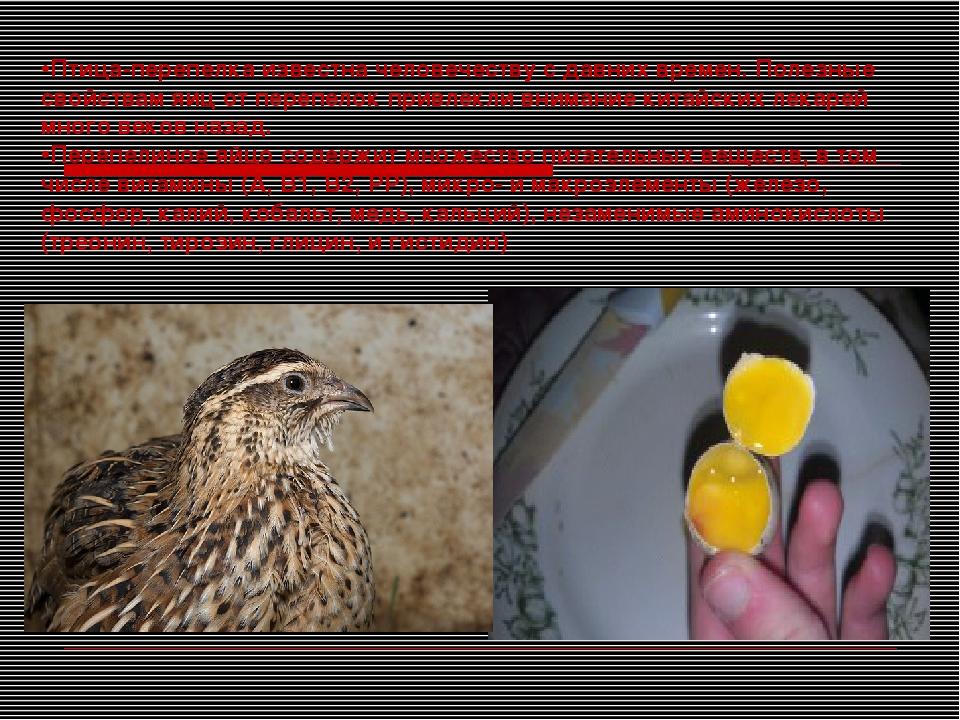 Птица-перепелка известна человечеству с давних времен. Полезные свойствам яиц...