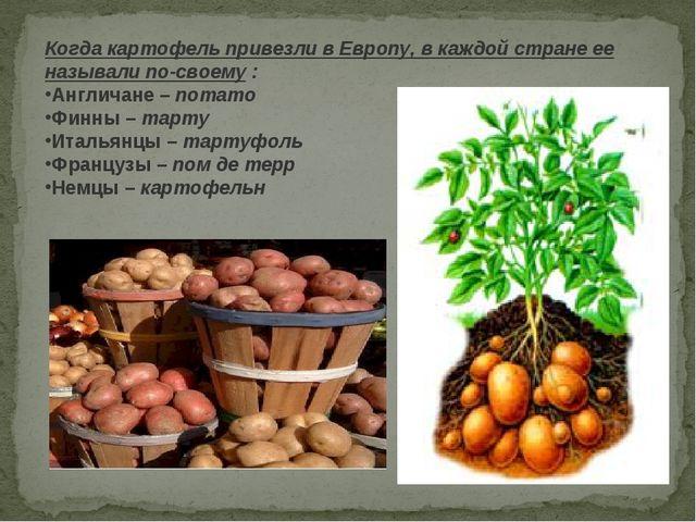 Когда картофель привезли в Европу, в каждой стране ее называли по-своему: Ан...