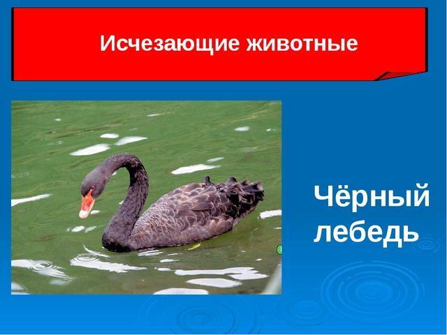 Чёрный лебедь Исчезающие животные