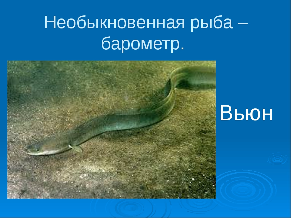 Необыкновенная рыба – барометр. Вьюн