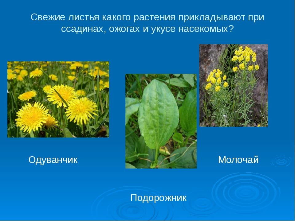 Свежие листья какого растения прикладывают при ссадинах, ожогах и укусе насек...