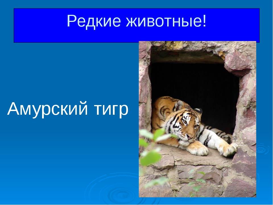 Амурский тигр Редкие животные!