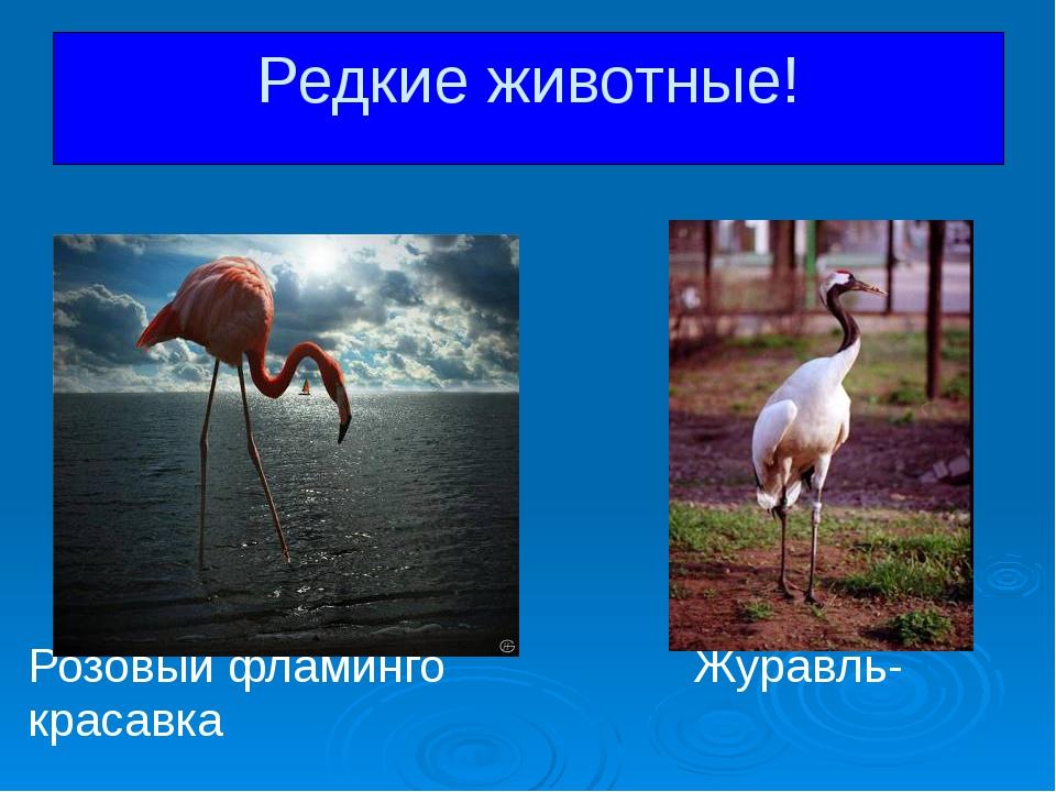 Розовый фламинго Журавль-красавка Редкие животные!