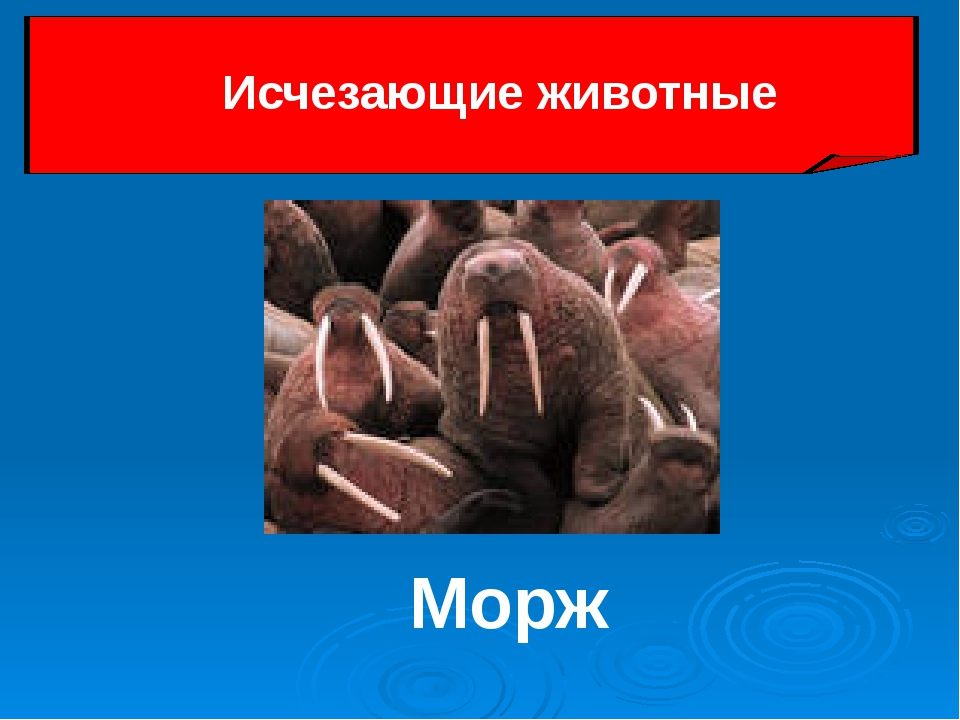 Морж Исчезающие животные