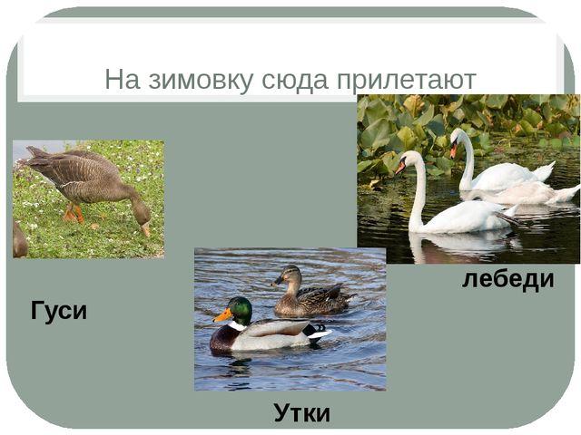 На зимовку сюда прилетают лебеди Гуси Утки