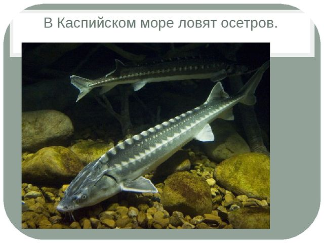 В Каспийском море ловят осетров.