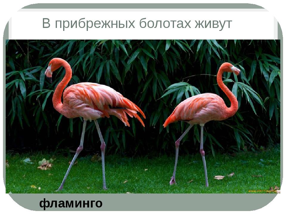 В прибрежных болотах живут фламинго