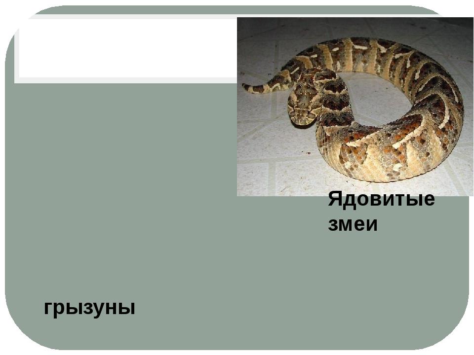 Ядовитые змеи грызуны