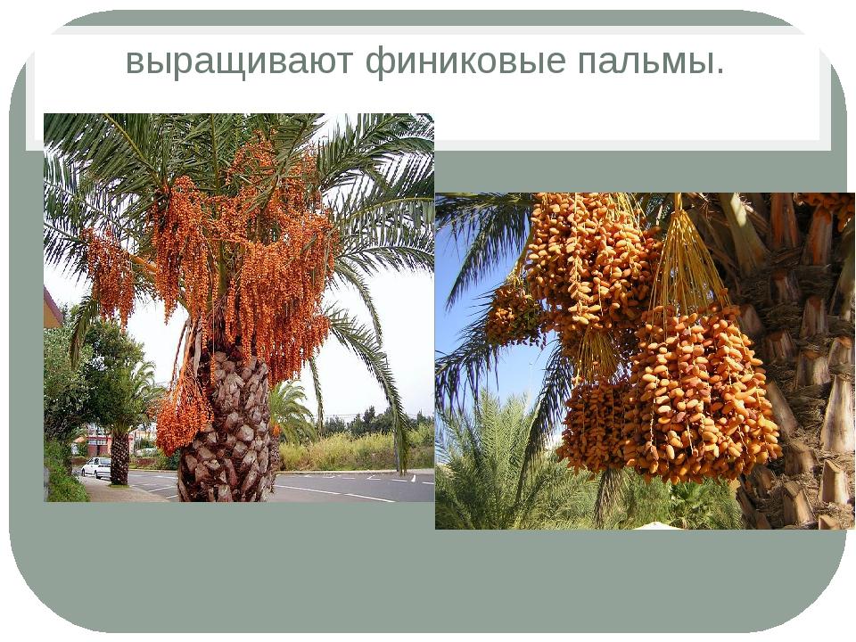 выращивают финиковые пальмы.