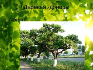 Деревья -доноры Акация