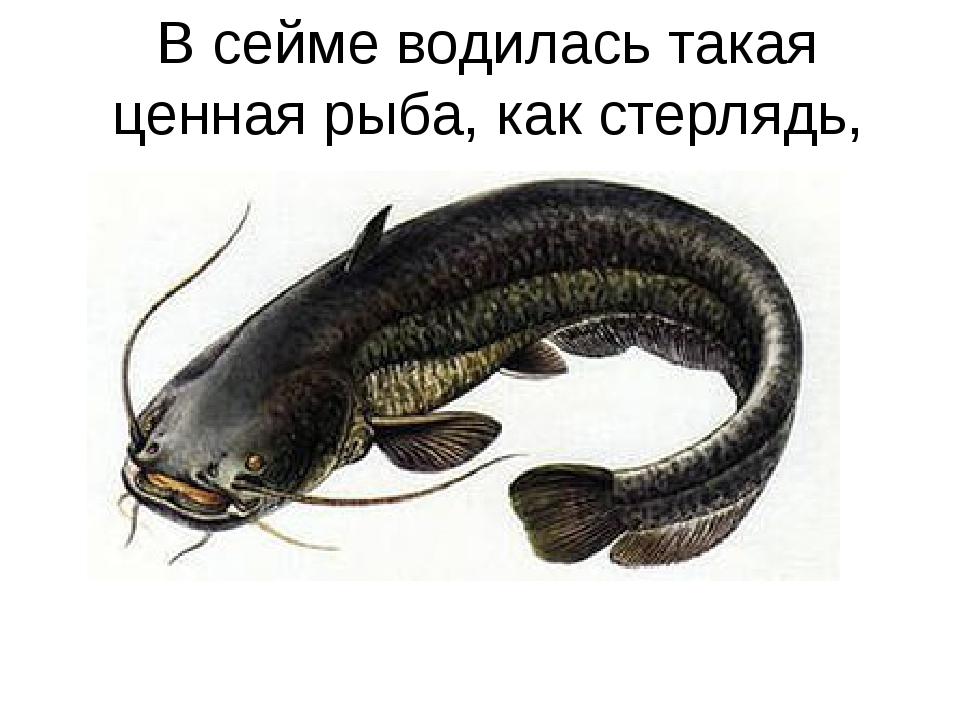В сейме водилась такая ценная рыба, как стерлядь, сом, судак