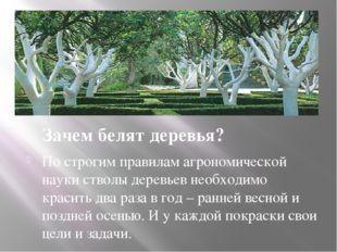 Зачем белят деревья? По строгим правилам агрономической науки стволы деревье