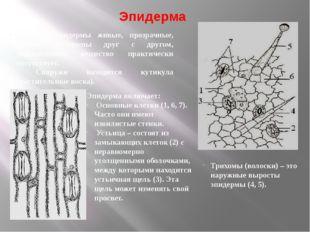 Эпидерма Клетки эпидермы живые, прозрачные, прочно соединены друг с другом, м