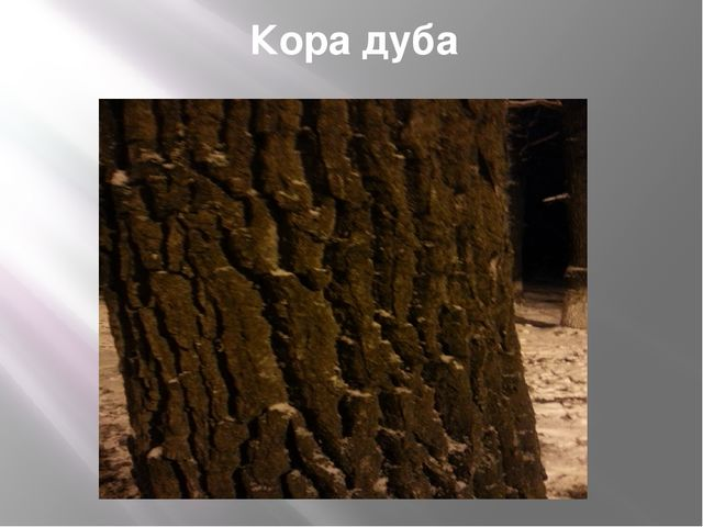 Кора дуба