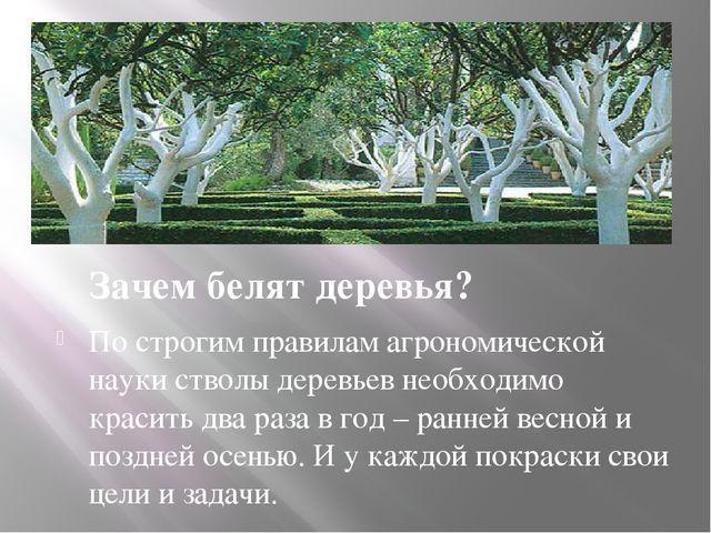 Зачем белят деревья? По строгим правилам агрономической науки стволы деревье...